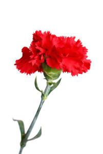 carnationa